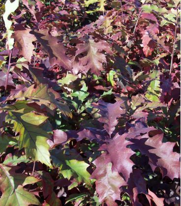 Quercus Rubra / Chene Rouge D'Amerique