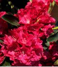 Rhododendron  Rouge