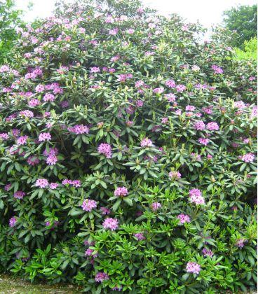 Rhododendron Ponticum / Rhododendron de Semis