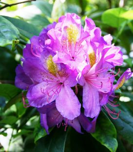 Rhododendron Violet