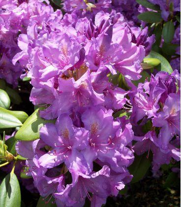 Rhododendron Violet