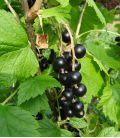 Ribes Nigrum / Cassis à fruits