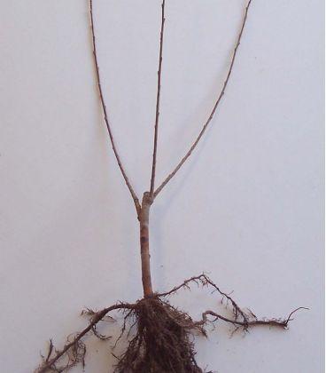 Salix Cinerea / Saule Cendre