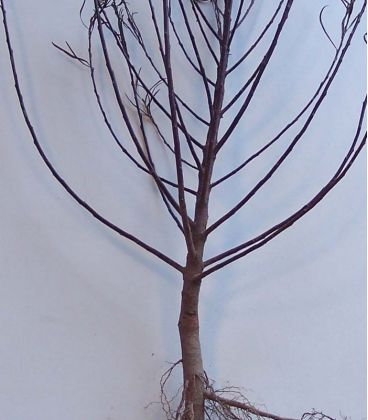 Salix Rosmarinifolia / Saule à feuilles de Romarin