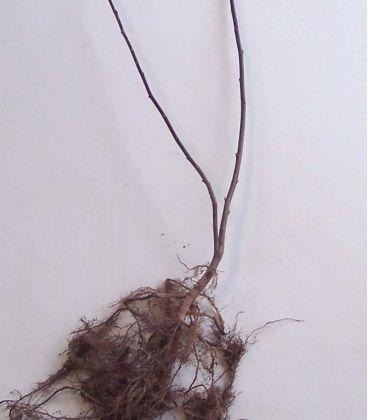 Salix Caprea / Saule Marsault
