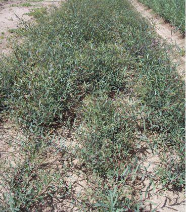 Salix Purpurea Nana / Saule Pourpre Nain