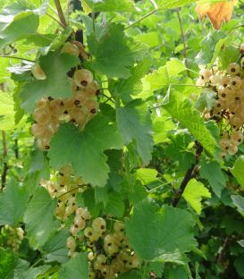 Ribes Rubrum Fruits Blancs/ Groseillier à Grappes Fruits Blancs