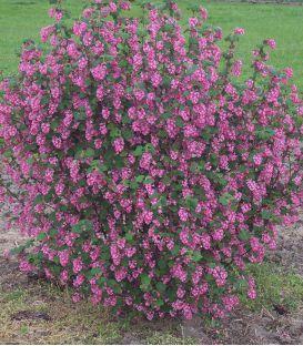 Ribes Sanguineum / Groseillier à fleurs
