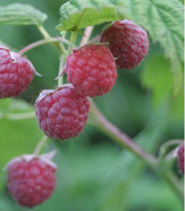 Rubus Idaeus / Framboisier