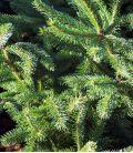 Picea Omorika / Epicea de Serbie