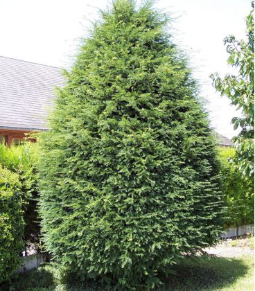 Taxus Baccata / If Commun