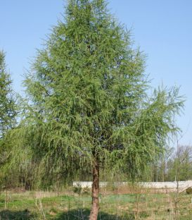 Larix Decidua / Meleze D'Europe