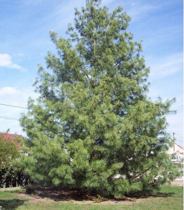 Pinus Wallichiana / Pin de L'Himalaya