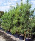 Pinus Pinaster / Pin Maritime