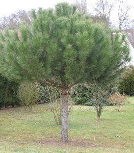 Pinus Pinea / Pin Parasol