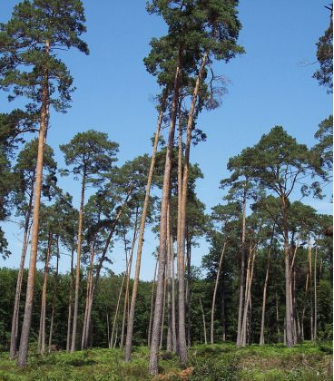 Pinus Sylvestris / Pin Sylvestre