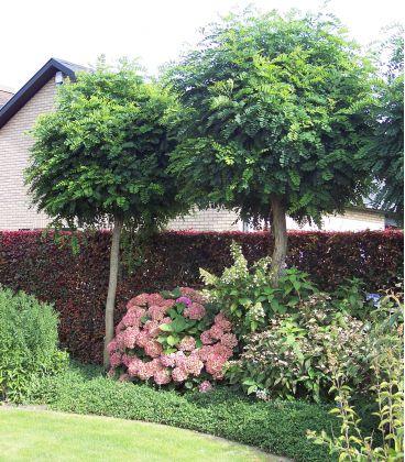 Robinia Umbraculifera / Acacia Boule