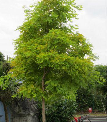 Robinia Pseudoacacia Frisia / Acacia Dore