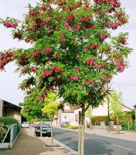 Robinia Margaretta Casque Rouge / Acacia Casque Rouge
