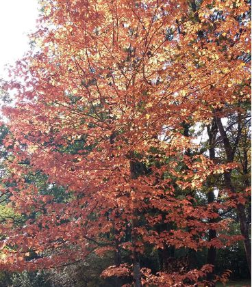 Sorbus Torminalis / Alisier Des Bois
