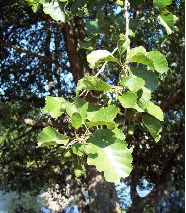 Alnus Glutinosa / Aulne Commun, Glutineux