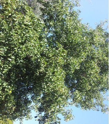 Alnus Cordata / Aune à feuilles En Coeur