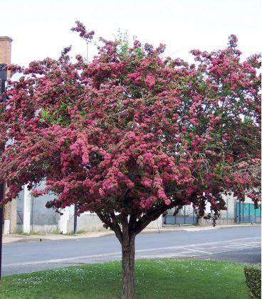 Crataegus Laevigata Paul'S Scarlet / Aubepine Rouge
