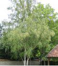 Betula Pendula / Bouleau Commun  Cepée de 3 Sujets