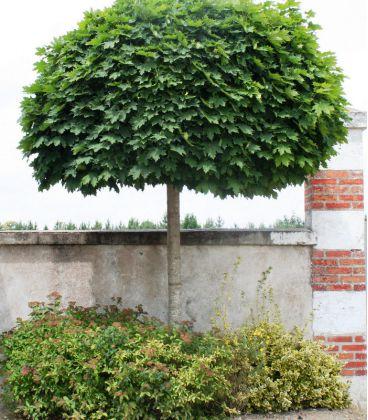 Acer Platanoides Globosum / Erable Boule