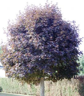 Acer Platanoides Crimson King / Erable Pourpre