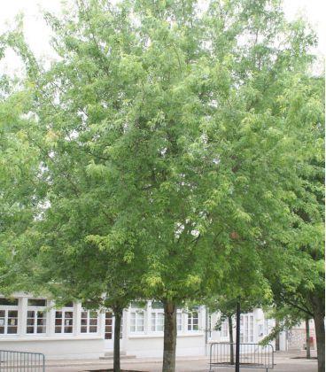 Acer Saccharinum Laciniatum Wieri / Erable Wieri Lacinie