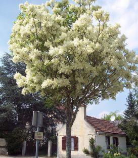 Fraxinus Ornus / Frene à fleurs