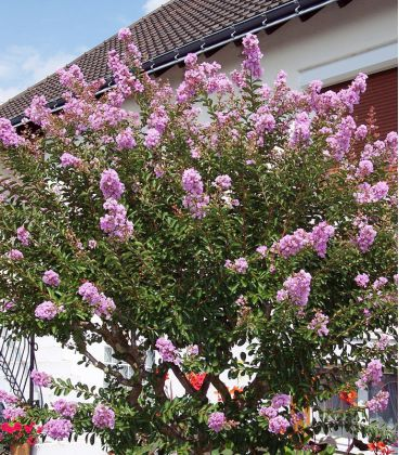 Lagerstroemia Indica / Lilas Des Indes Fleurs Roses