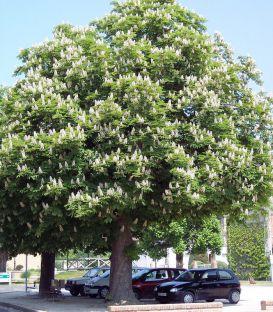Aesculus Hippocastanum / Marronnier Blanc