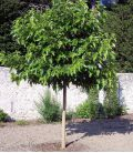 Morus Bombycis Fruitless / Murier à feuilles de Platane Sans Fruit