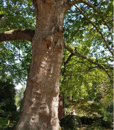 Platanus Acerifolia / Platane à feuilles D'Erable