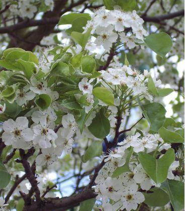 Pyrus Calleryana Chanticléer / Poirier à fleurs Chanticléer