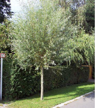 Salix Alba Liempde / Saule Blanc