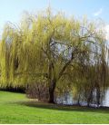 Salix Sepucr. Chrysocoma / Saule Pleureur