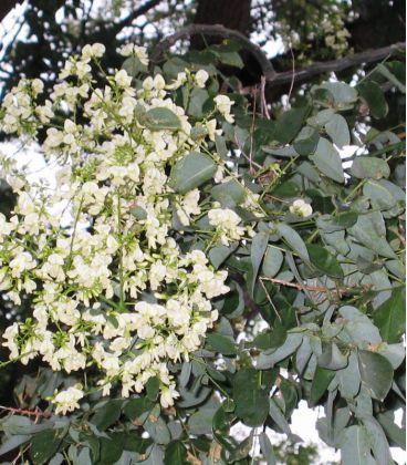 Sophora Japonica / Sophora Du Japon