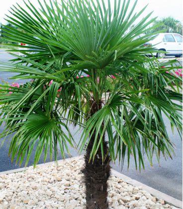 Trachycarpus Fortunei / Palmier
