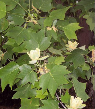 Liriodendron Tulipifera / Tulipier de Virginie