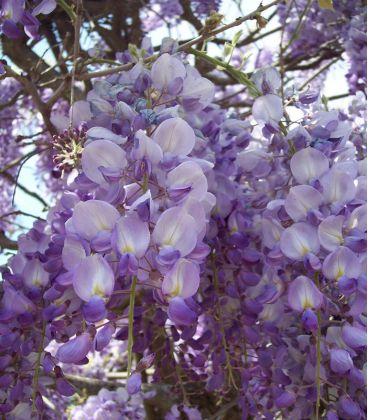 Wisteria Sinensis Bleue / Glycine de Chine Bleue