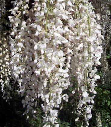 Wisteria Sinensis Blanche / Glycine de Chine Blanche