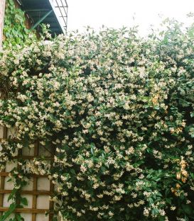 Trachelospermum Jasminoïdes / Jasmin Etoile
