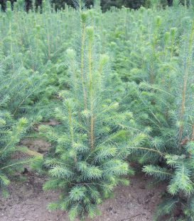 Picea Sitchensis / Epicea de Sitka