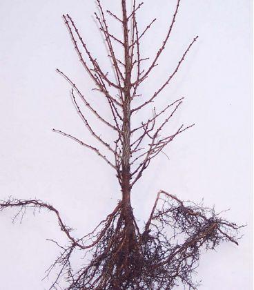 Larix Kaempferi / Meleze Du Japon