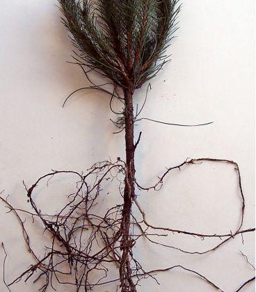 Pinus Laricio Calabrica / Pin Laricio de Calabre