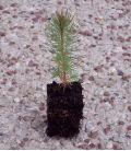 Pinus Pinaster / Pin Maritime, Des Landes