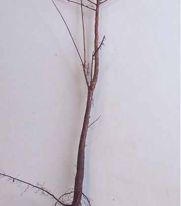 Taxodium Distichum / Cyprès Chauve